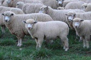 Curso online grátis de Criação de Ovelhas