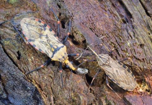 Curso online grátis de Doença de Chagas