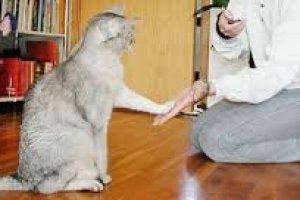 Curso online grátis de Adestramento de Gatos