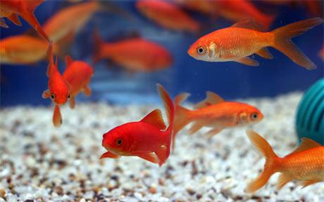 Curso online grátis de Criação de Peixes Ornamentais