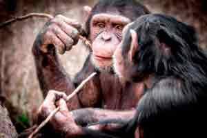 Curso online grátis de Introdução a Primatologia